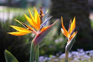 Vẻ đẹp hút hồn loài hoa 'chim của thiên đường' có ở Việt Nam