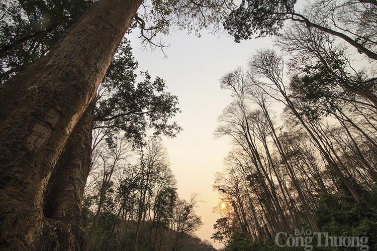 Rừng săng lẻ cổ thụ- 'bảo vật' vô giá của người dân miền Tây xứ Nghệ