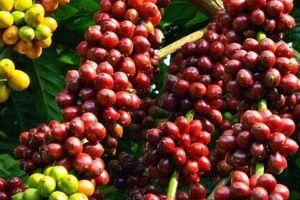 Giá cà phê hôm nay 30/8: Duy trì ở mức ổn định