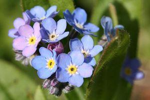 Nàng trồng hoa 'Xin đừng quên em' mong tình yêu chung thủy