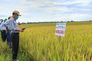 Những giống lúa nổi bật của Vinaseed vụ hè thu