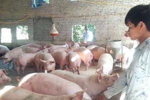Còn 19 tỉnh, thành có ổ dịch tả lợn Châu Phi chưa qua 21 ngày