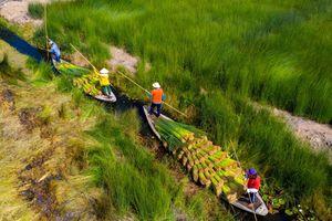 Mùa gặt cỏ bàng đẹp như tranh vẽ ở miền Tây