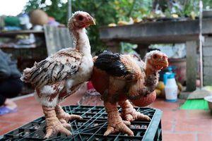 Nhân rộng mô hình chăn nuôi gà Đông Tảo lai an toàn sinh học