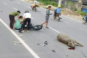 Thái Nguyên: Đi xe máy tông chết nghé, một thanh niên nhập viện