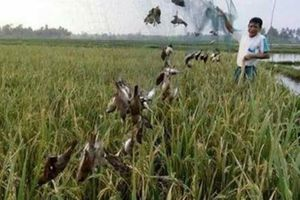 Phú Yên: Báo động nạn săn bắt chim yến