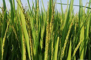 Nam Định: Đôn đốc phòng trừ sâu bệnh hại lúa mùa