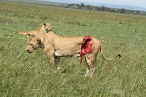 Sư tử bị trâu húc rách bụng vẫn sống sót một cách kỳ diệu