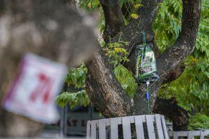 'Truyền dịch cấp cứu' hàng cây sưa đỏ bạc tỷ ở Hà Nội