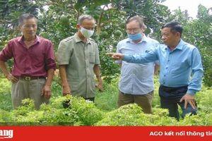 Thái Nguyên: Nông dân rủ nhau trồng 'sâm người nghèo', chế ra thứ cao uống vào khỏe cả người