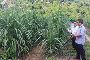 Phú Yên gỡ khó cho ngành mía đường