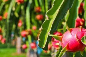 Chanh leo, dừa, bưởi và loạt trái cây Việt 'nối đuôi' nhau sang châu Âu nhờ EVFTA