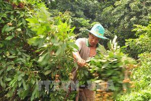 Giá vựa nhãn tiêu da bò ở Bình Phước 'lao dốc'