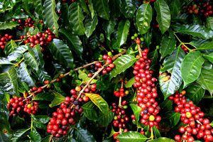 Giá cà phê hôm nay 16/9: Bật tăng trở lại, nguyên nhân khiến cà phê Arabica New York lao dốc