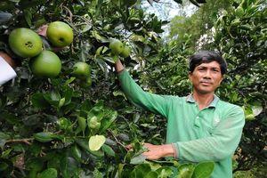 Thoát nghèo nhờ trồng cam ruột đỏ