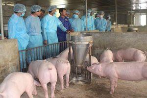 Khó đạt mục tiêu tái đàn lợn