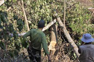 Phá rừng phòng hộ bị phạt 337,5 triệu đồng
