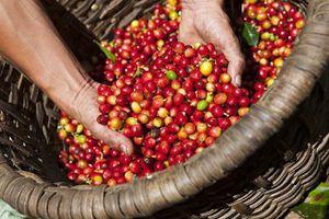 Giá cà phê và tiêu hôm nay 17/9 chững lại sau phiên giảm mạnh