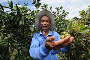 Lão nông tăng thu nhập từ vườn tắc cẩm thạch