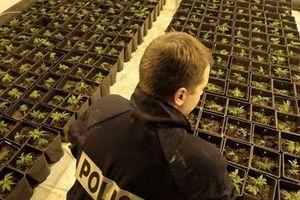 Các băng đảng tại Tây Ban Nha và Pháp đưa người nhập cư trái phép để trồng cần sa