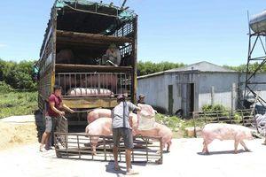 Cảnh báo dịch tả lợn châu Phi ở Nghệ An: Nguy cơ tái bùng phát diện rộng