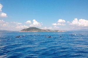 Kỳ thú đàn cá heo gần 200 con tung tăng trên biển Phú Yên