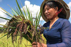 Thu nhập trăm triệu nhờ trồng lúa tím thảo dược