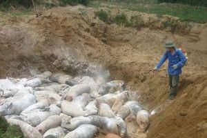Phát hiện ổ bệnh dịch tả lợn châu Phi tại Nha Trang