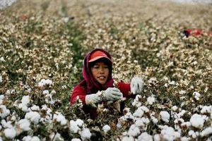 Lệnh cấm của Hoa Kỳ đối với mặt hàng bông Tân Cương của Trung Quốc sẽ mang đến nhiều thiệt hại