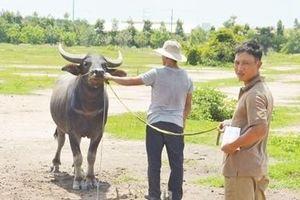 Bắt nhóm chuyên dùng xe tải trộm trâu bò