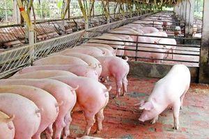 Giá lợn hơi hôm nay 20/9: Dao động từ 79.000 - 84.000 đồng/kg