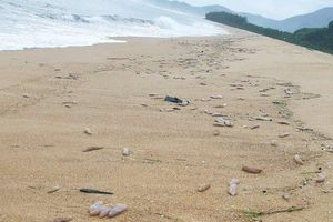 Sau bão số 5, hàng tạ sinh vật nghi hải sâm dạt vào bờ biển Thừa Thiên-Huế