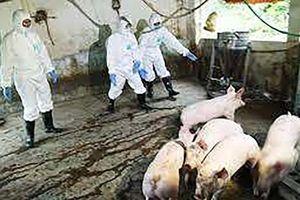 Khánh Hòa: Bệnh dịch tả lợn châu Phi được phát hiện tại TP Nha Trang