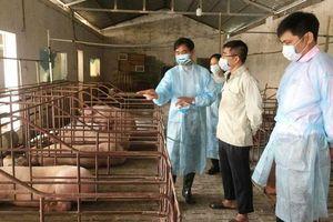 Tăng giám sát để phòng, chống bệnh Dịch tả lợn châu Phi