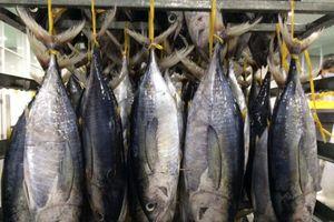 Xuất khẩu cá ngừ sang EU tăng chóng mặt