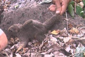 Bổ sung nhiều cá thể sóc cho rừng tự nhiên Cồn Cỏ
