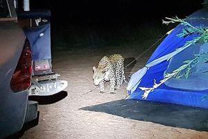 Báo hoa mai tấn công người cắm trại qua đêm