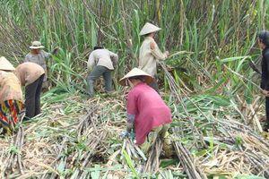 Điều tra chống bán phá giá đường mía nhập khẩu từ Thái Lan