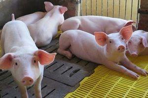 Giá lợn hơi hôm nay 23/9: 2 miền Bắc - Nam giảm 1.000 - 3.000 đồng/kg