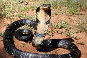 Cô gái mang bán cặp rắn hổ mang chúa
