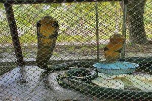 Bắt bố chồng và con dâu vận chuyển cặp rắn hổ mang nặng 6kg