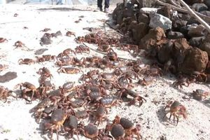 Quảng Ngãi: Bảo tồn cua đá ở huyện đảo Lý Sơn