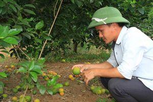 Vì đâu nghề trồng cam ở Nghệ An khốn đốn?
