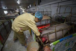 Hải Phòng: Hiệu quả rõ rệt từ tái cơ cấu chăn nuôi