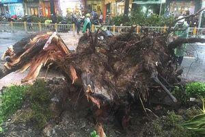 Người bị cây cổ thụ đè trên đường Nguyễn Tri Phương đã qua đời