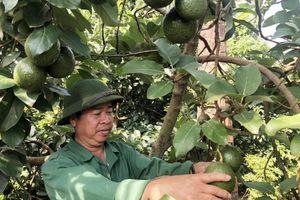 Bà con Tây Nguyên giàu có nhờ xen canh cây trái trong vườn cà phê