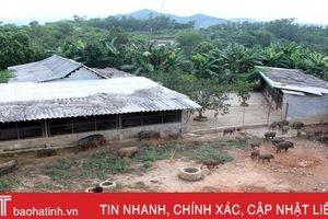 Khám phá trang trại nuôi hàng trăm con lợn rừng ở miền núi thơm Hà Tĩnh