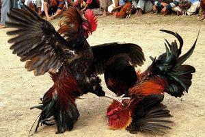 Đề nghị truy tố kẻ nhận 1 tỷ của chủ trường gà