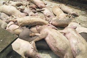 Nghệ An: Dịch tả lợn châu Phi bùng phát tại 35 xã của 12 huyện