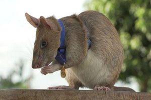 Chuột dò mìn được trao huân chương dũng cảm